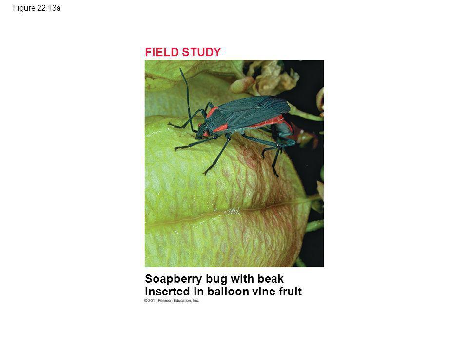 Soapberry bug with beak inserted in balloon vine fruit