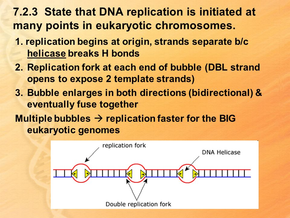 7.2.3 State that DNA replication is initiated at many points in eukaryotic chromosomes.