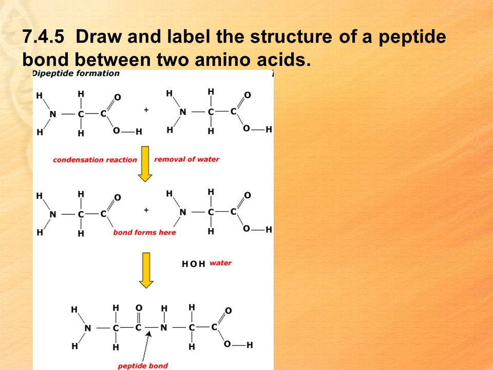 7.4.5 Draw and label the structure of a peptide bond between two amino acids.