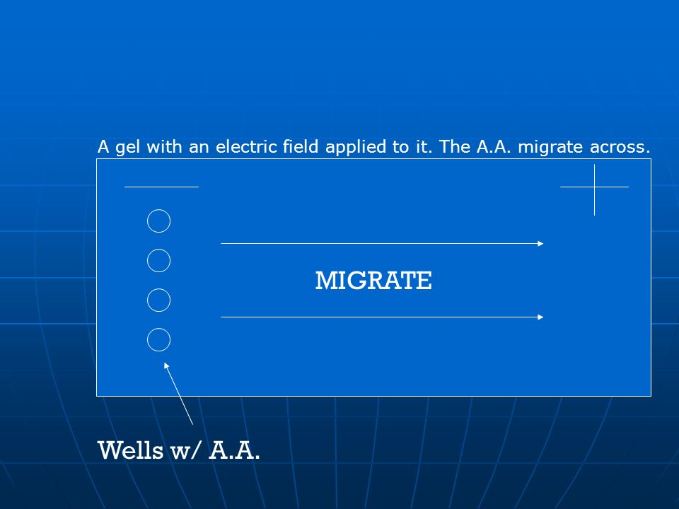 A gel with an electric field applied to it. The A.A. migrate across.