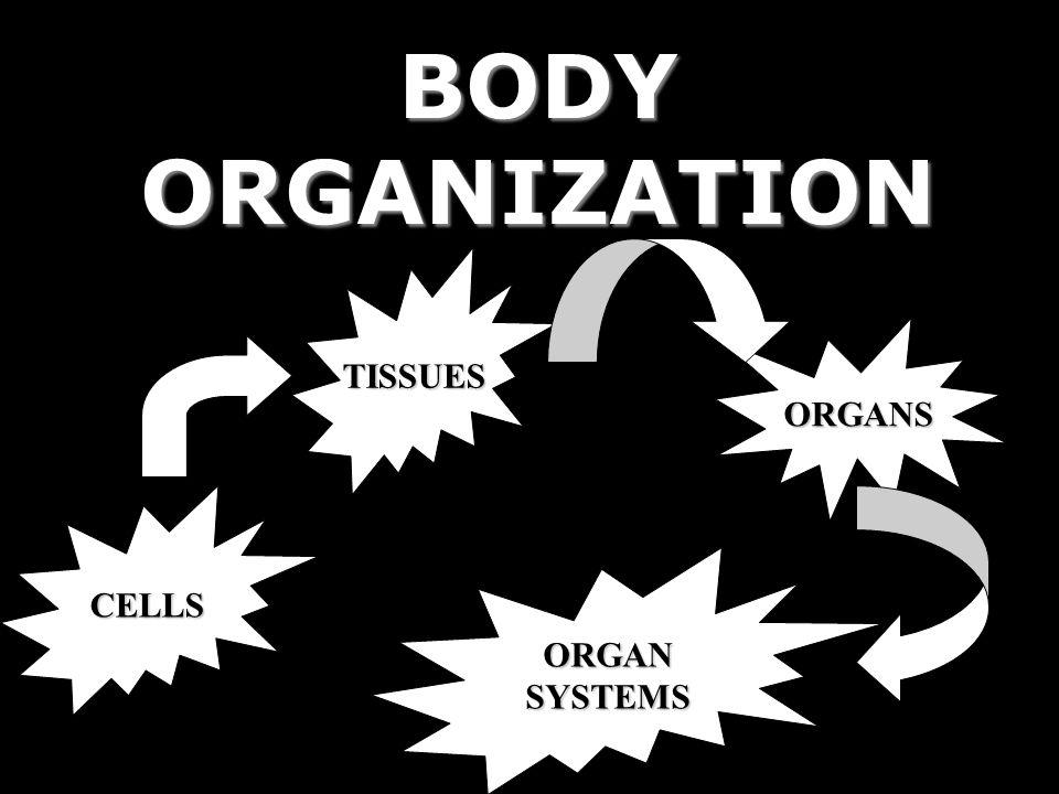 BODY ORGANIZATION TISSUES ORGANS CELLS ORGAN SYSTEMS
