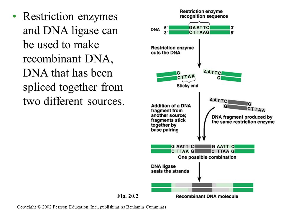Restriction enzymes and DNA ligase can be used to make recombinant DNA, DNA that has been spliced together from two different sources.