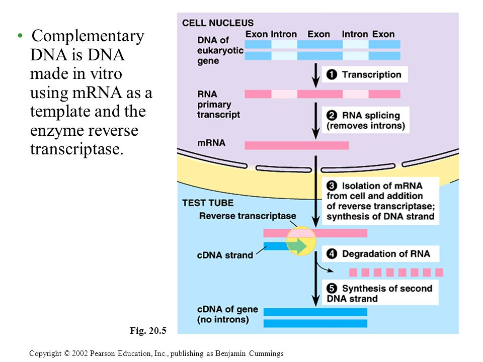 Complementary DNA is DNA made in vitro using mRNA as a template and the enzyme reverse transcriptase.