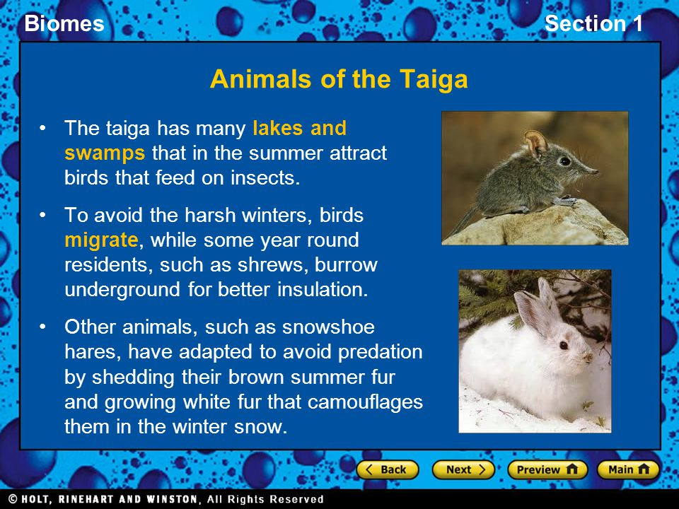 Animals of the Taiga The taiga has many lakes and swamps that in the summer attract birds that feed on insects.