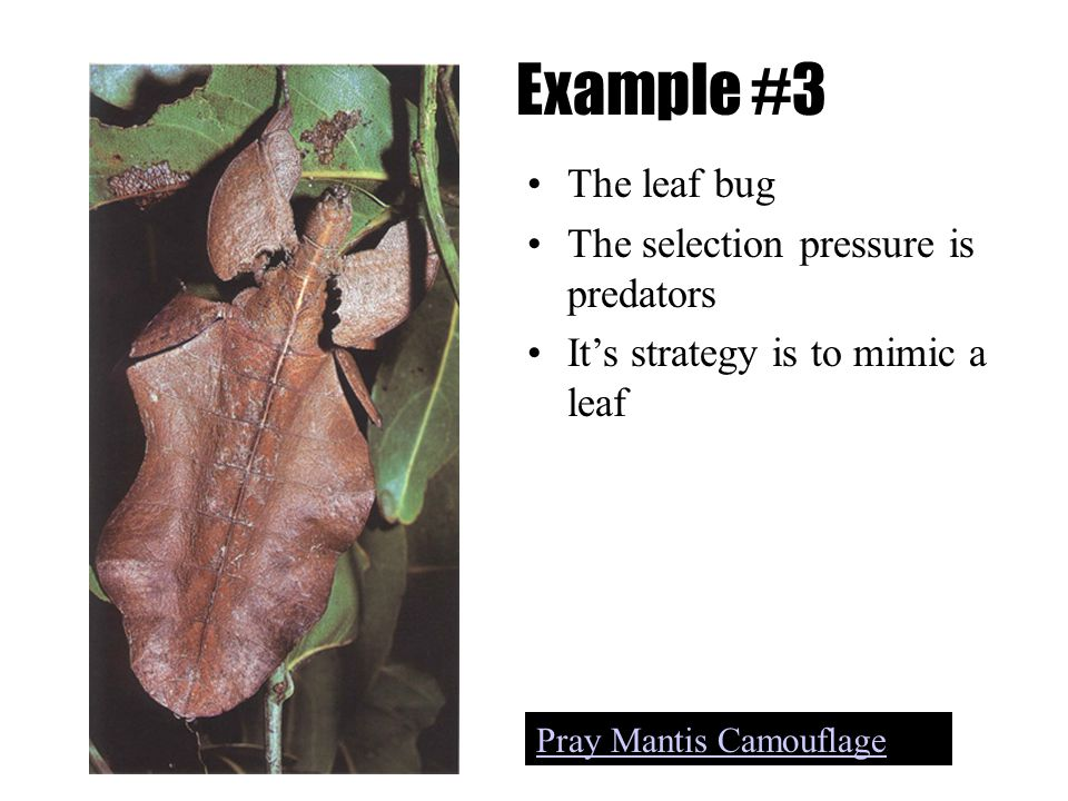 Example #3 The leaf bug The selection pressure is predators