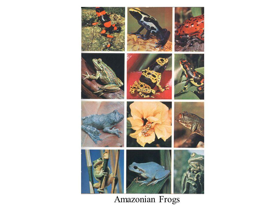Amazonian Frogs