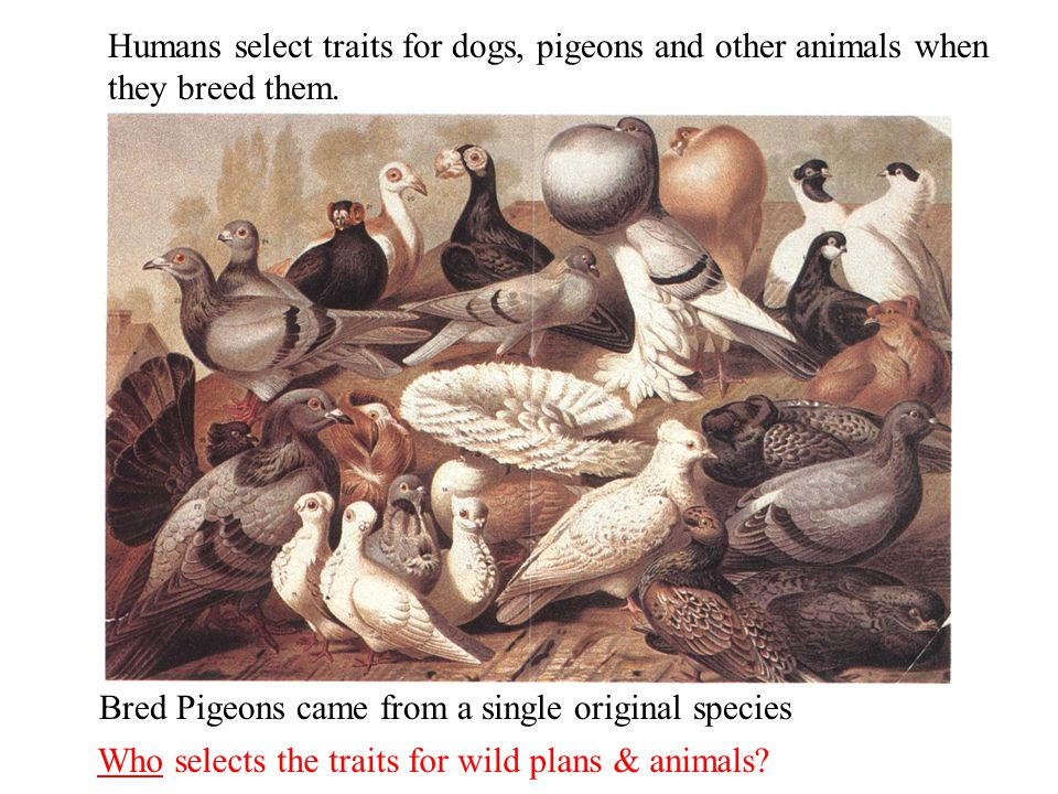 Humans select traits for dogs, pigeons and other animals when they breed them.
