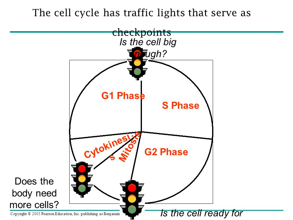 G1 Phase S Phase Mitosis Cytokinesis G2 Phase