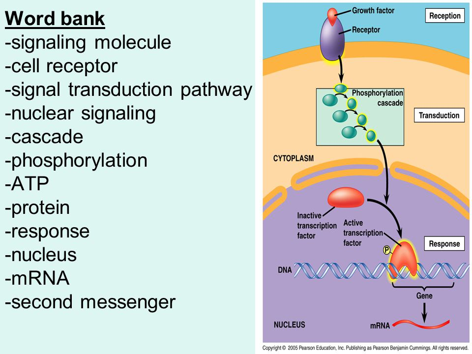 Word bank -signaling molecule -cell receptor -signal transduction pathway -nuclear signaling -cascade -phosphorylation -ATP -protein -response -nucleus -mRNA -second messenger