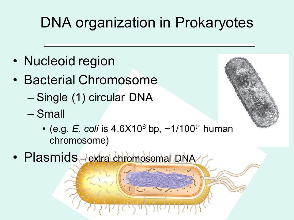 DNA organization in Prokaryotes