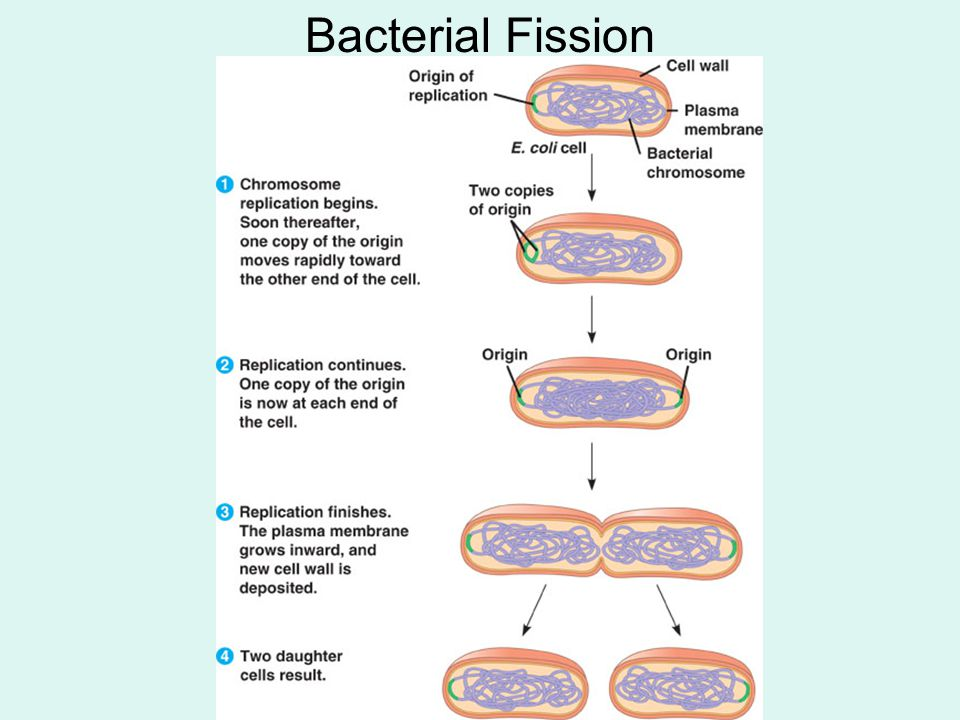 Bacterial Fission