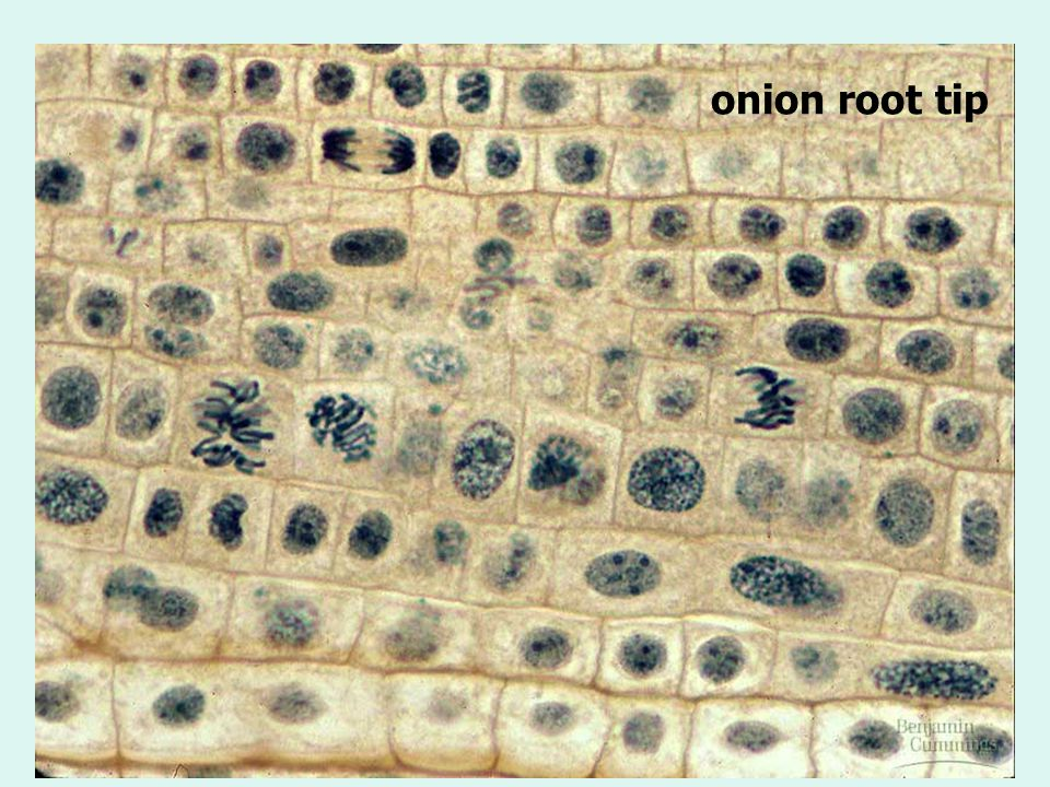 onion root tip 129