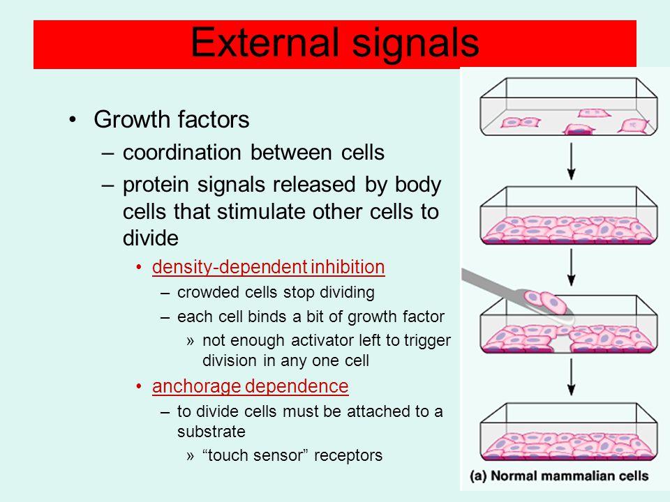 External signals Growth factors coordination between cells