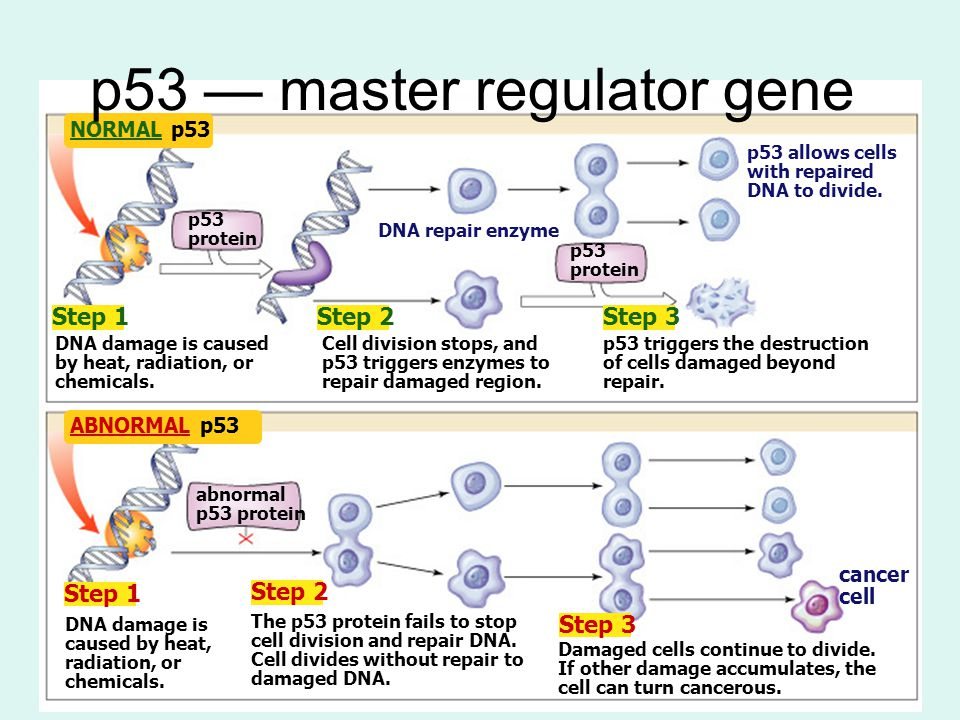 p53 — master regulator gene