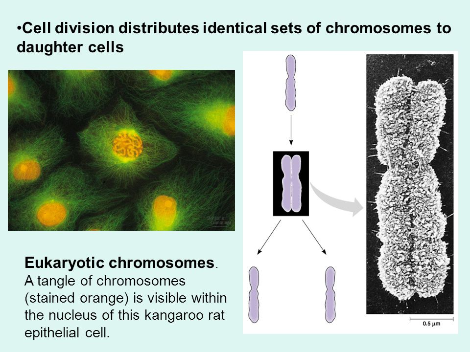 Cell division distributes identical sets of chromosomes to daughter cells