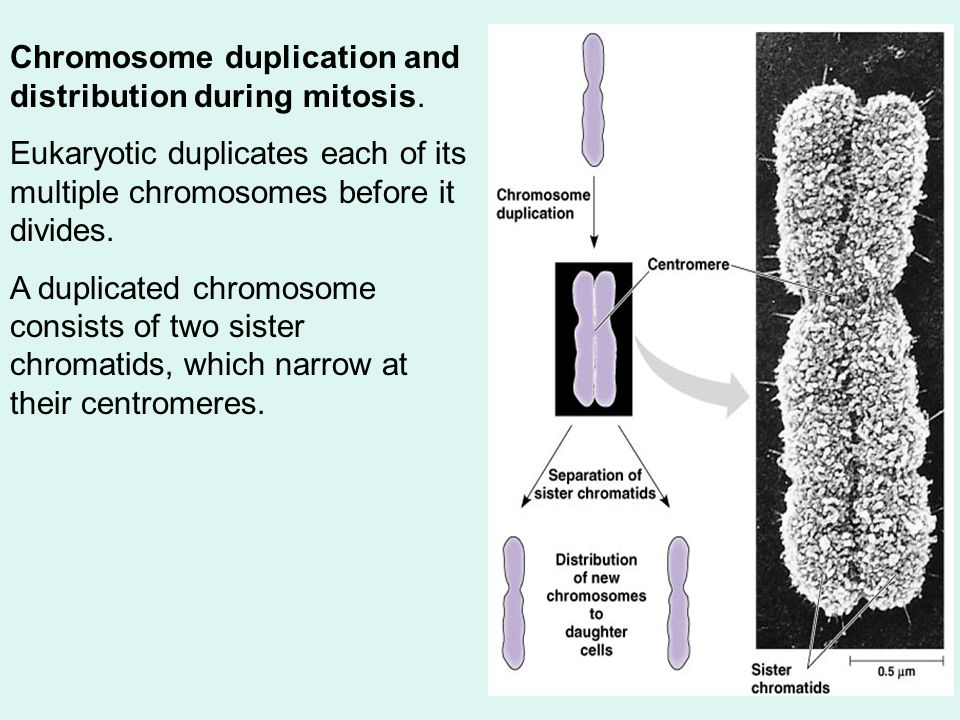 Chromosome duplication and distribution during mitosis.