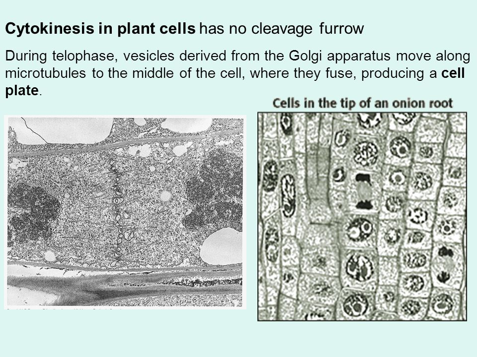 Cytokinesis in plant cells has no cleavage furrow
