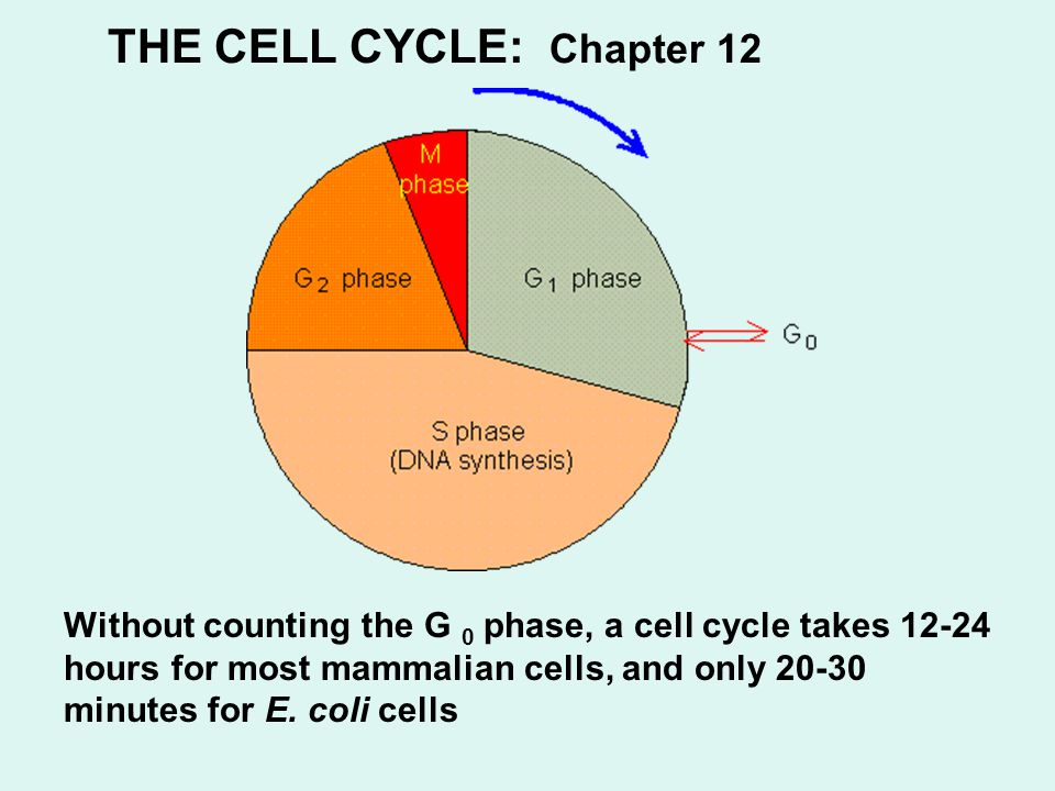 THE CELL CYCLE: Chapter 12