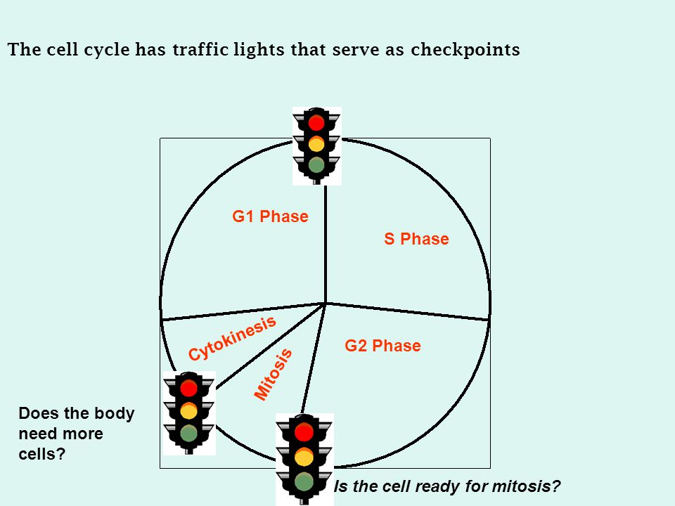 The cell cycle has traffic lights that serve as checkpoints