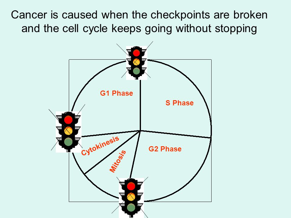 Cancer is caused when the checkpoints are broken and the cell cycle keeps going without stopping