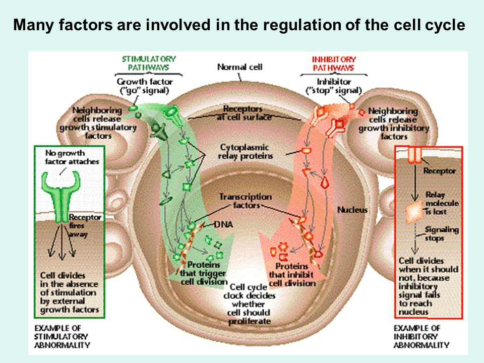 Many factors are involved in the regulation of the cell cycle