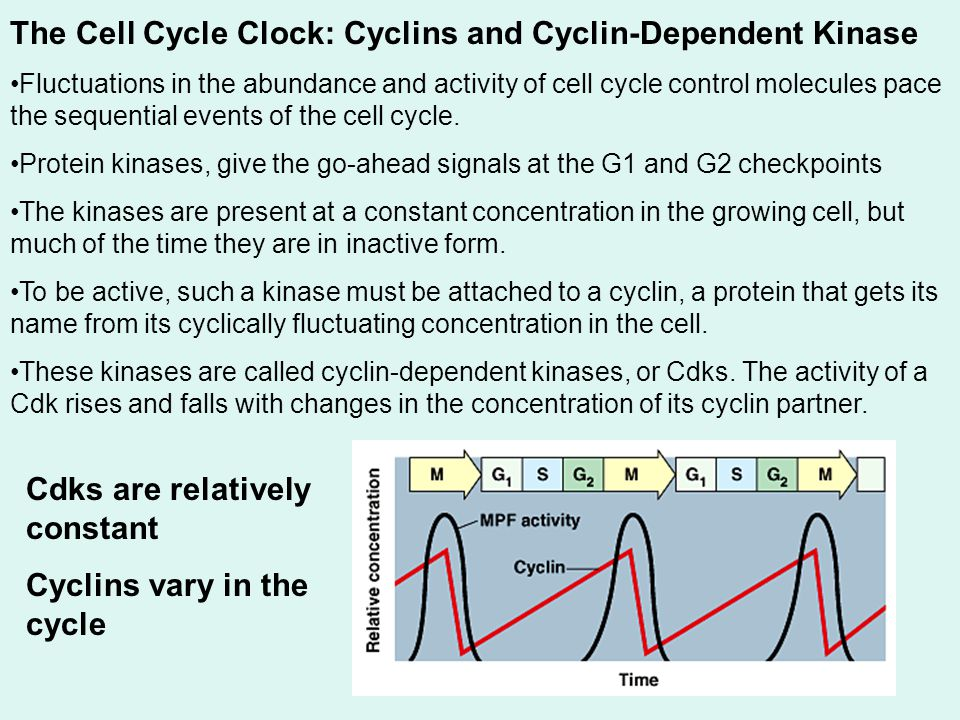 The Cell Cycle Clock: Cyclins and Cyclin-Dependent Kinase