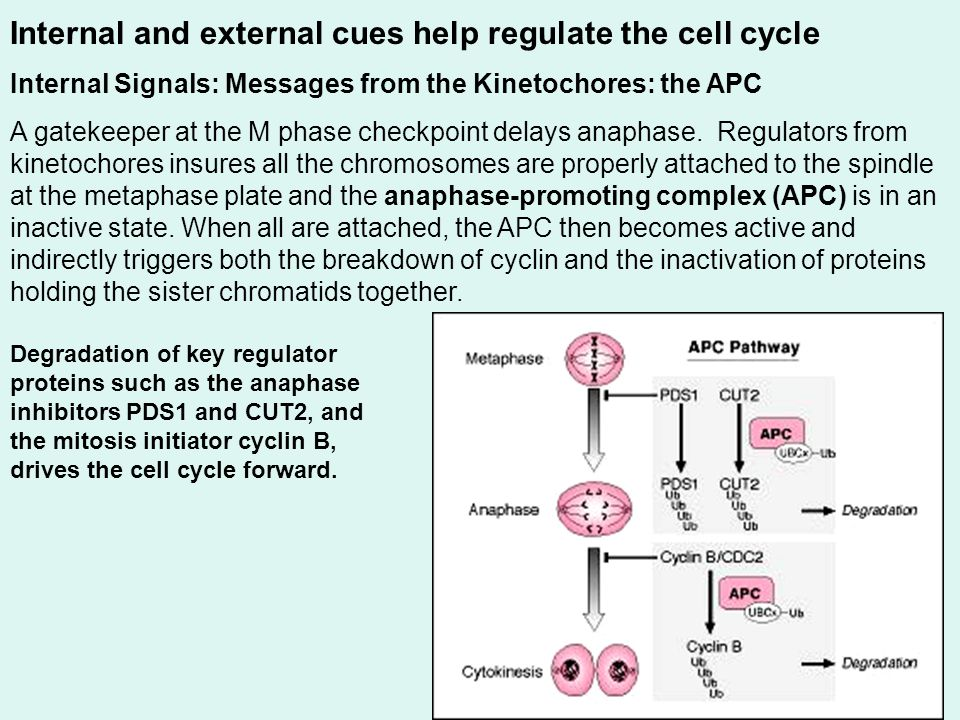 Internal and external cues help regulate the cell cycle