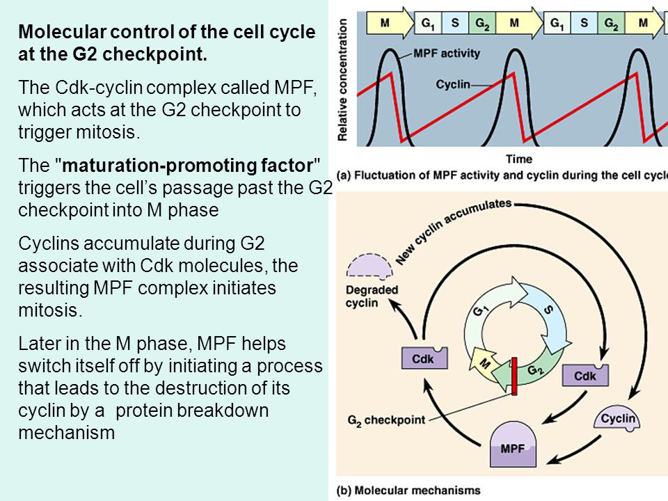 Molecular control of the cell cycle at the G2 checkpoint.