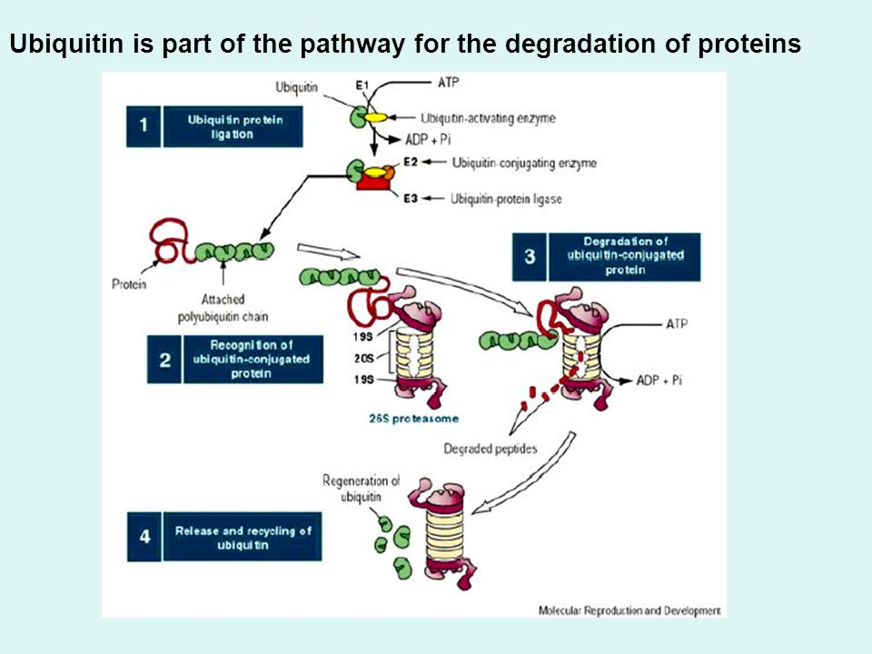 Ubiquitin is part of the pathway for the degradation of proteins