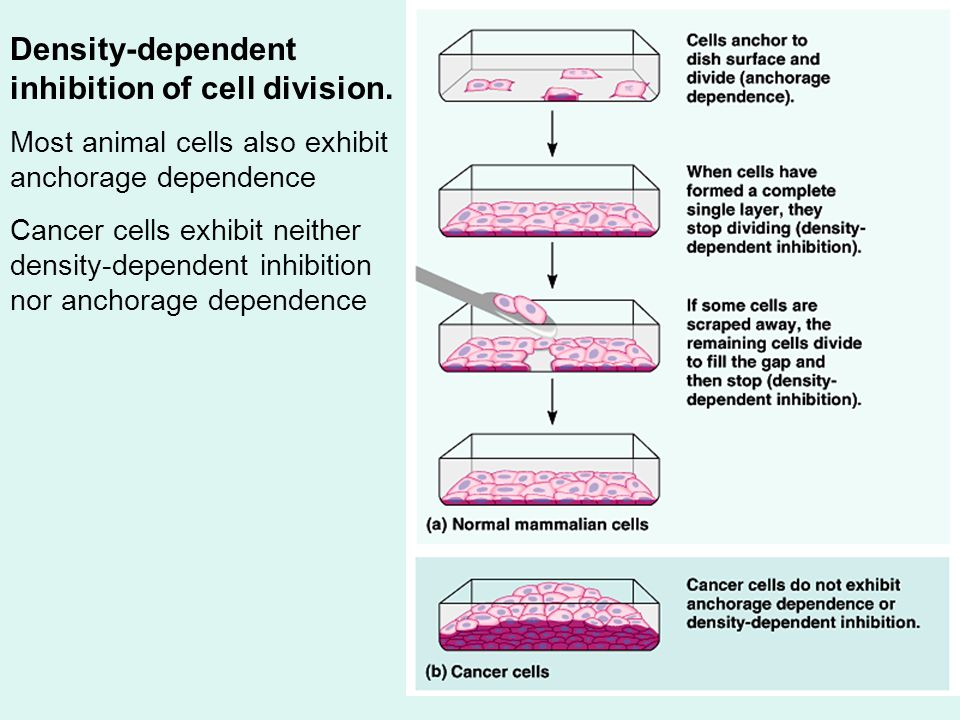Density-dependent inhibition of cell division.