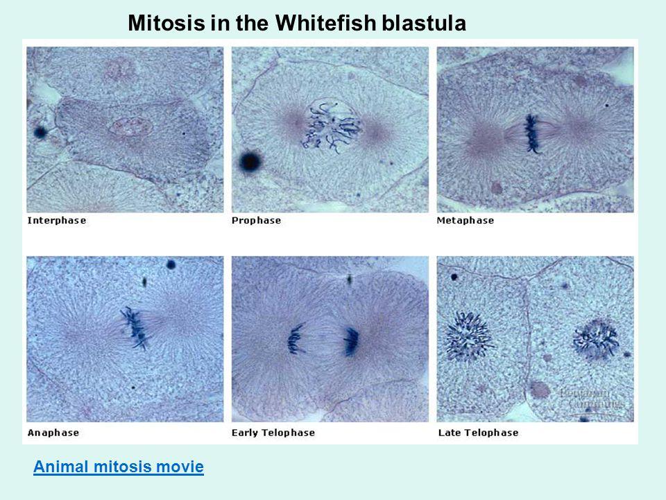 Mitosis in the Whitefish blastula