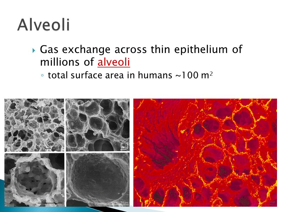 Alveoli Gas exchange across thin epithelium of millions of alveoli