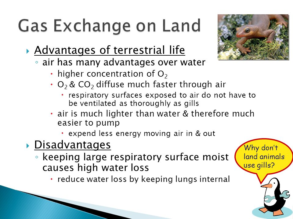 Gas Exchange on Land Advantages of terrestrial life Disadvantages