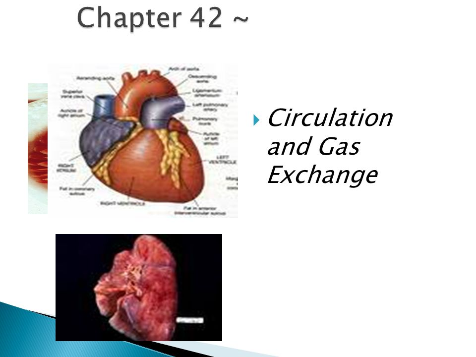 Chapter 42 ~ Circulation and Gas Exchange