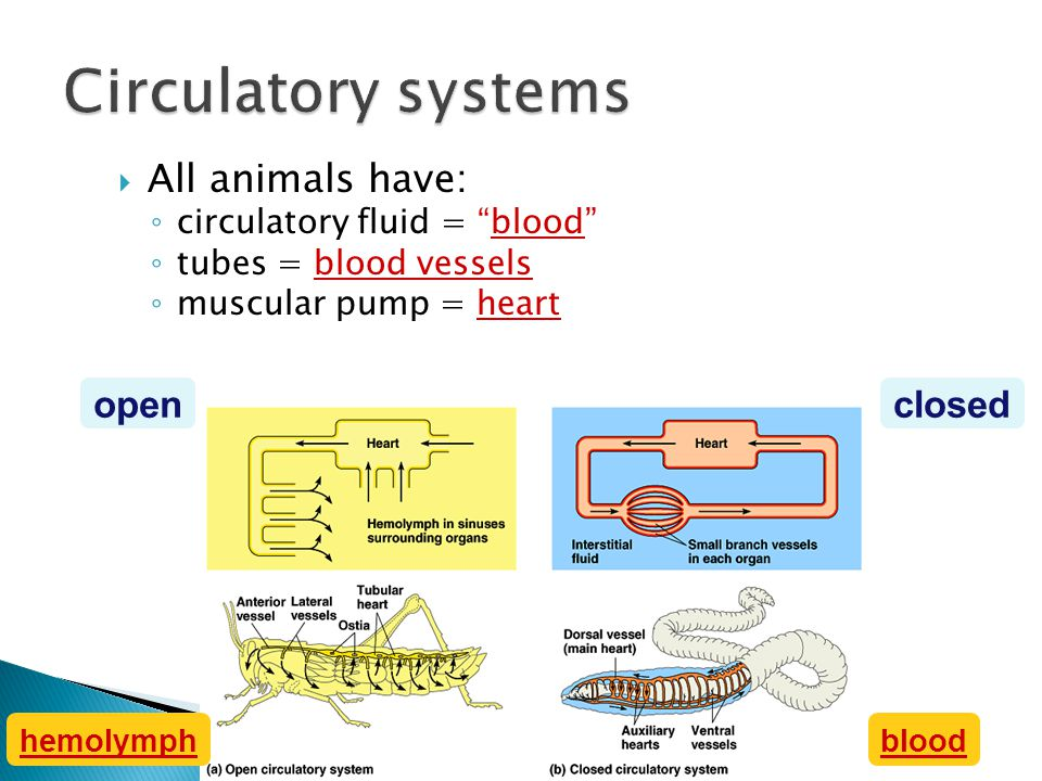 Circulatory systems All animals have: open closed
