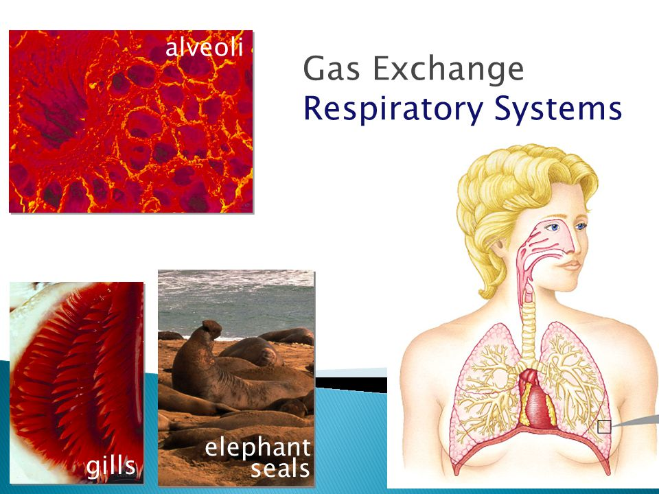 Gas Exchange Respiratory Systems alveoli elephant seals gills