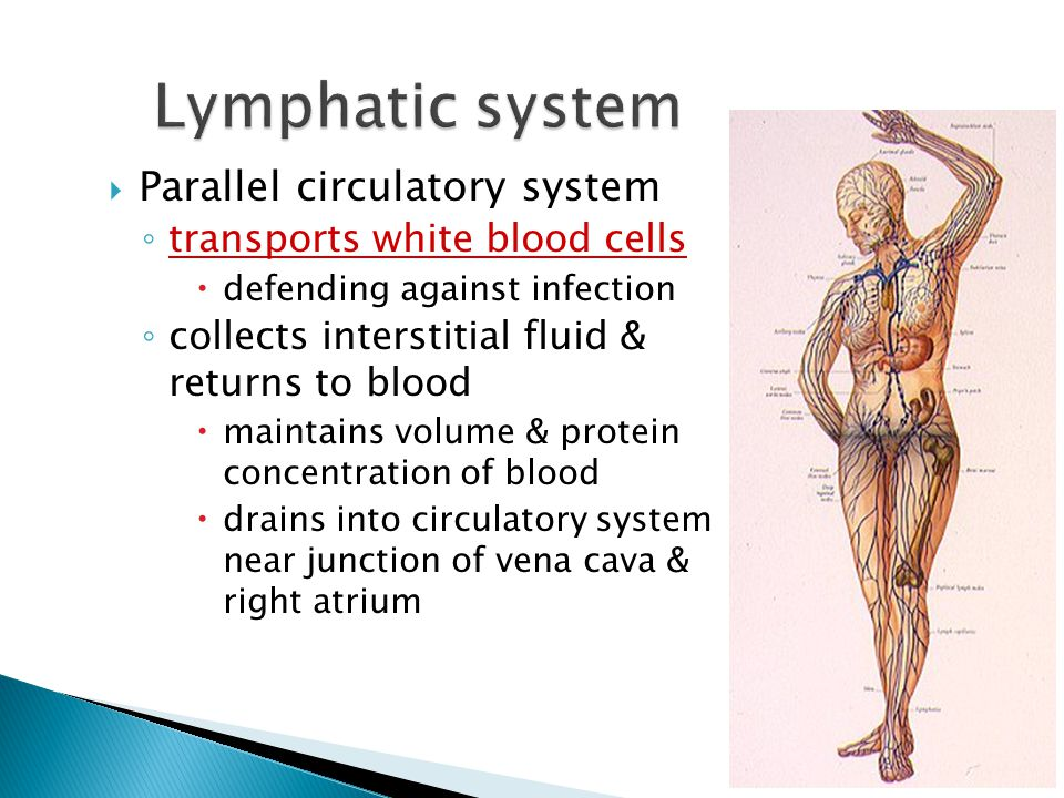 Lymphatic system Parallel circulatory system