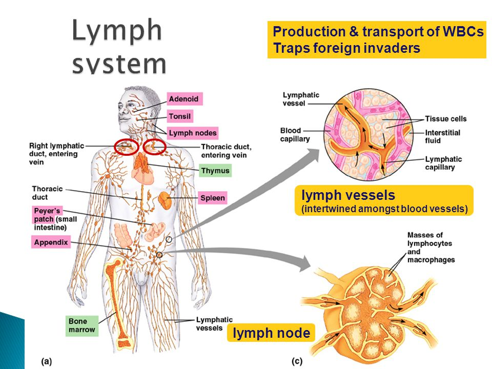 Lymph system Production & transport of WBCs Traps foreign invaders