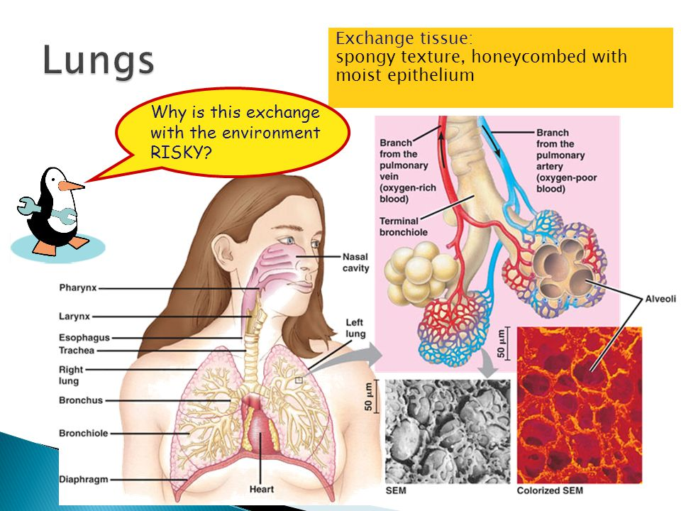 Lungs Exchange tissue: spongy texture, honeycombed with moist epithelium. Why is this exchange with the environment RISKY