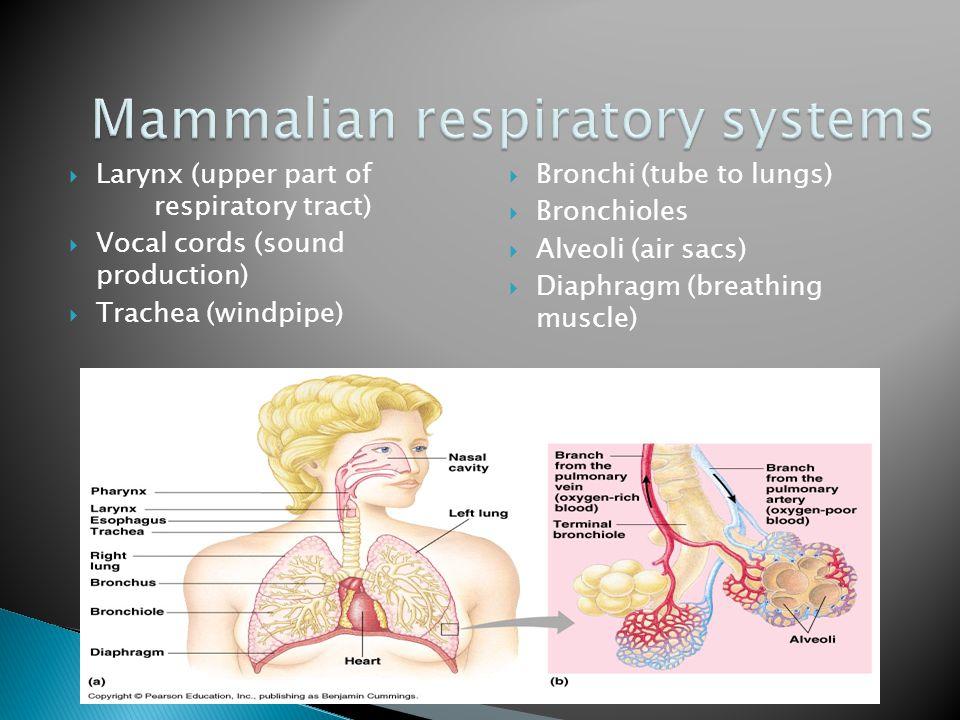 Mammalian respiratory systems