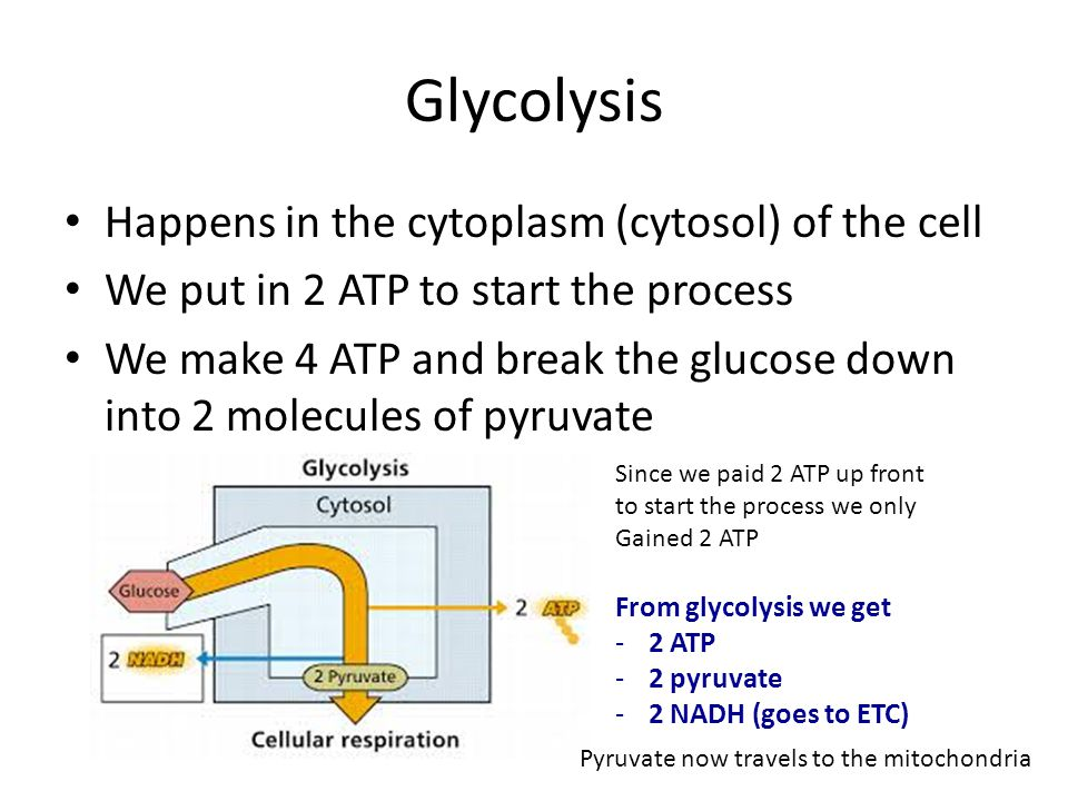 Glycolysis Happens in the cytoplasm (cytosol) of the cell