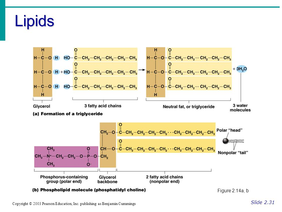 Lipids Figure 2.14a, b. Slide 2.31. Copyright © 2003 Pearson Education, Inc.