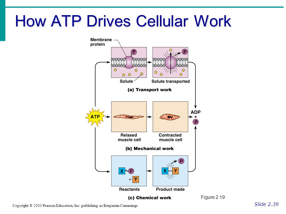 How ATP Drives Cellular Work