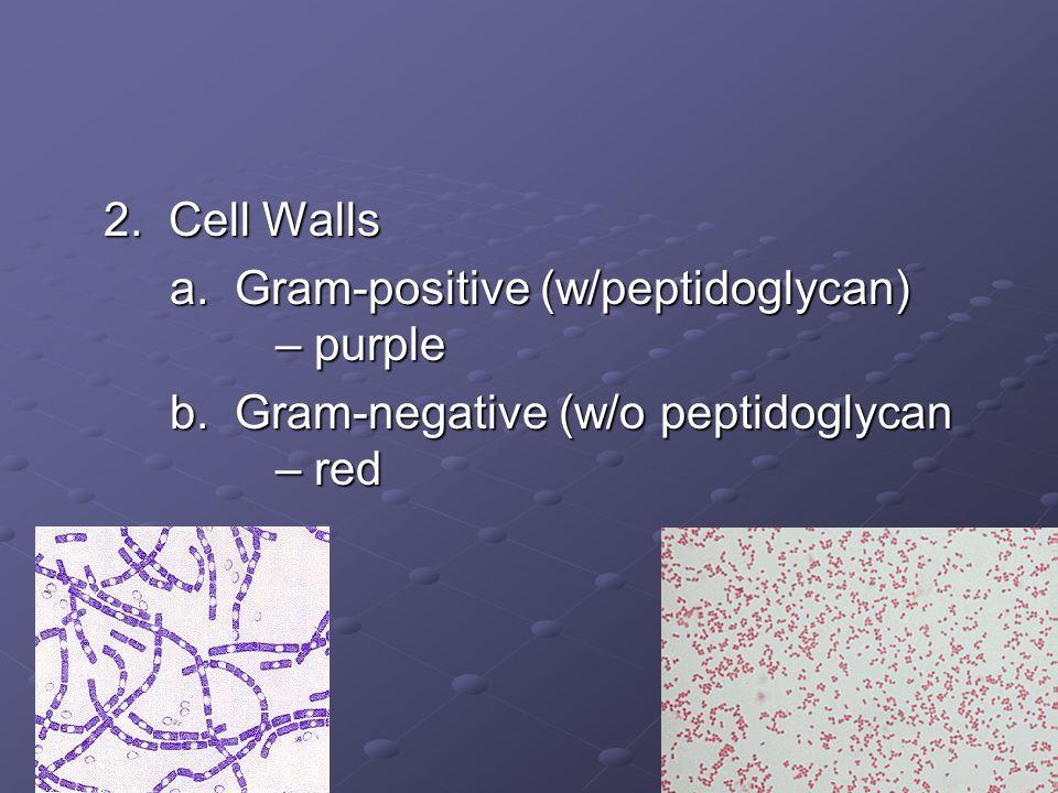 2. Cell Walls a. Gram-positive (w/peptidoglycan) – purple.