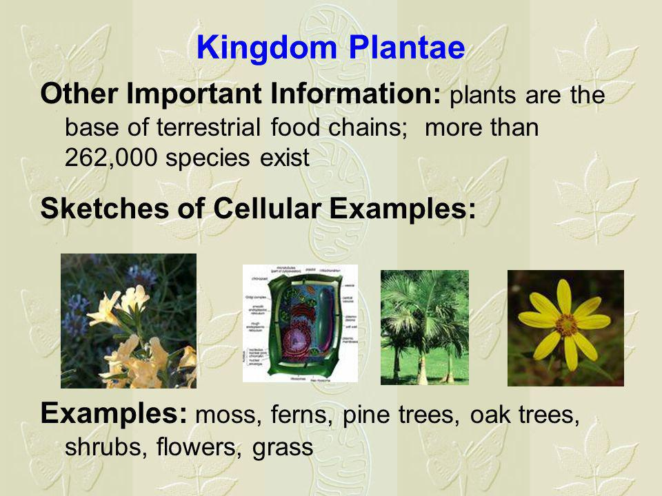 Kingdom Plantae Other Important Information: plants are the base of terrestrial food chains; more than 262,000 species exist.