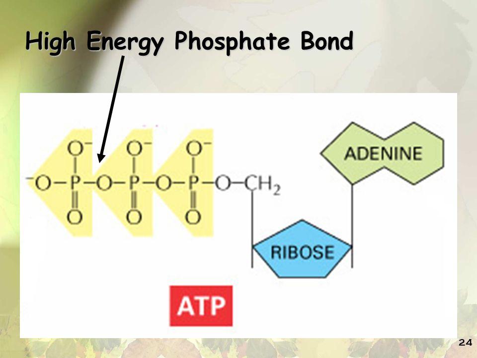High Energy Phosphate Bond