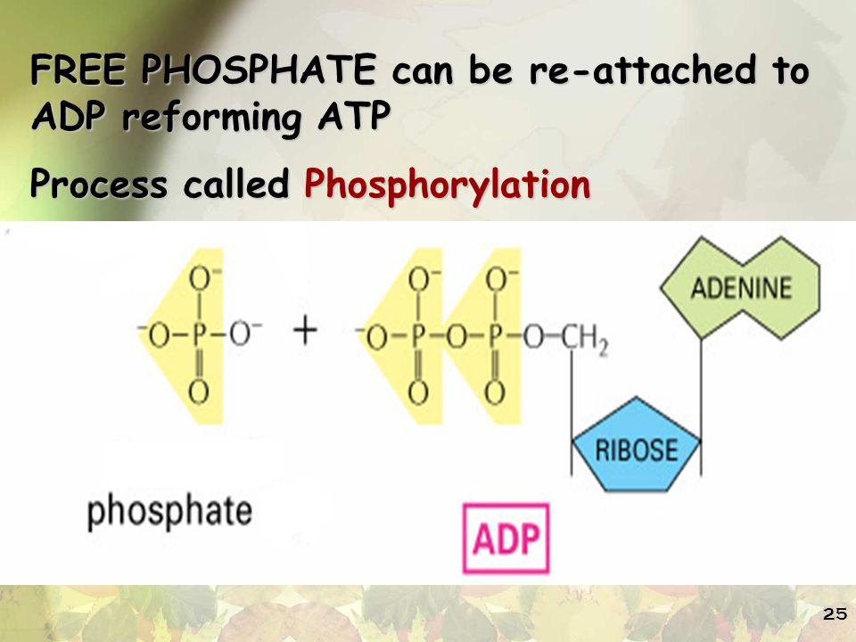 FREE PHOSPHATE can be re-attached to ADP reforming ATP