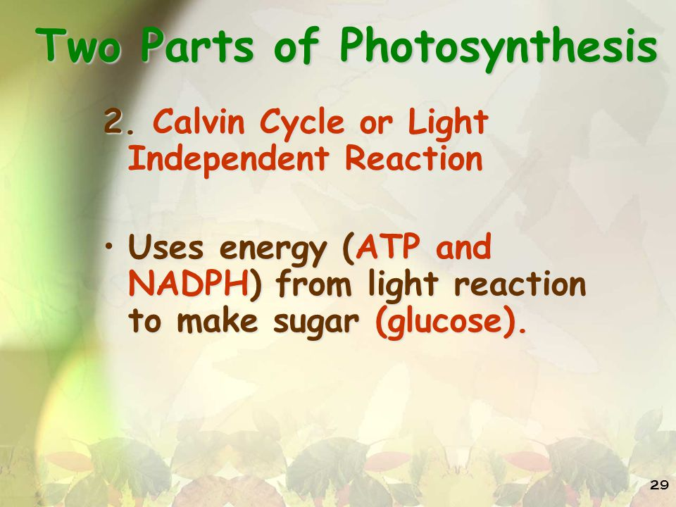 Two Parts of Photosynthesis