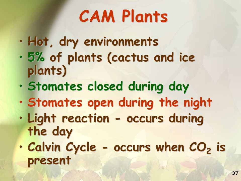 CAM Plants Hot, dry environments 5% of plants (cactus and ice plants)