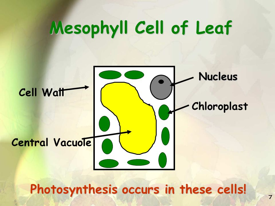 Mesophyll Cell of Leaf Photosynthesis occurs in these cells! Nucleus